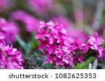 spring pink beautiful flowers... | Shutterstock . vector #1082625353