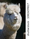 alpaca portrait in private zoo   Shutterstock . vector #1082659817
