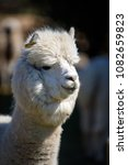 alpaca portrait in private zoo   Shutterstock . vector #1082659823