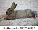 rabbit in private zoo   Shutterstock . vector #1082659847
