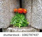 flowers on stones | Shutterstock . vector #1082787437