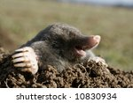 black mole in open air, molehill - stock photo