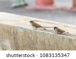 bird  eurasian tree sparrow ... | Shutterstock . vector #1083135347