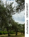 Olive Trees Field In French...