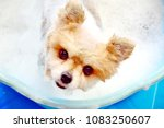 Cute and funny small Pomeranian puppy dog taking a bubbles bath in blue bucket, take care and bathing for your pet at home concept, soft and selective focus blurred background, top view