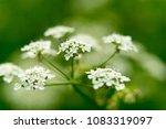 blossom cherry tree branch over ...   Shutterstock . vector #1083319097