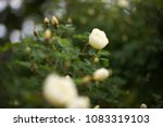 closeup of blossoming apple...   Shutterstock . vector #1083319103