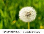 white dandelion on the green...   Shutterstock . vector #1083319127