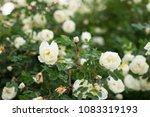 white flowers on briar rose bush   Shutterstock . vector #1083319193