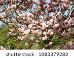 beautiful flowers of magnolia x ... | Shutterstock . vector #1083379283