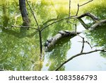 Small photo of Tortoises hang on a wood in the water, the tortoises hang out in the sun to heat up