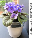 Small photo of African Violet in its favourite position by the window