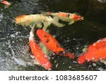 beautiful  crayfishs  playing ... | Shutterstock . vector #1083685607