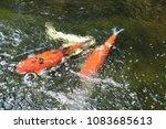 beautiful  crayfish  playing ... | Shutterstock . vector #1083685613