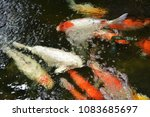 fishs  swimming  in  the  pond. | Shutterstock . vector #1083685697