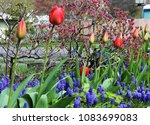A Row Of Red Tulips With Grape...