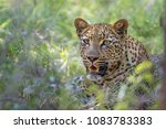 leopard in kruger national park ... | Shutterstock . vector #1083783383
