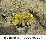 Small photo of Yellow scleractinia. Red sea