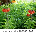 elegant red flowers of crown... | Shutterstock . vector #1083881267