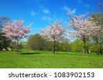 sakura trees in flowers on... | Shutterstock . vector #1083902153