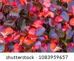 red shimmery wax begonias... | Shutterstock . vector #1083959657