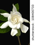 Gardenia Flower With Leaves...
