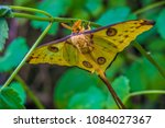 the comet moth  argema mittrei  ... | Shutterstock . vector #1084027367