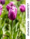 Small photo of Tulipa Blue Amiable