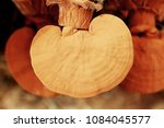 Small photo of Lingzhi mushroom cultivation, Chinese traditional medicine. Chinese medicine,(Ganodermataceae)