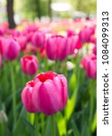 colourful fresh spring tulips... | Shutterstock . vector #1084099313