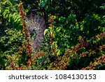 Small photo of Agarita Bush with Red Berries and Spider Web