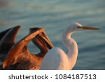 Pelican And A Great White Egre...
