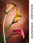 Zantedeschia aethiopica, painted Calla lily flower in frot of red bachground - stock photo