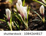 white crocuses growing on the... | Shutterstock . vector #1084264817