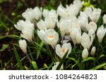 white crocuses growing on the... | Shutterstock . vector #1084264823