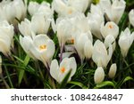 white crocuses growing on the... | Shutterstock . vector #1084264847