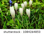white crocuses growing on the... | Shutterstock . vector #1084264853