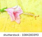 beautiful expired pink hibiscus ... | Shutterstock . vector #1084283393