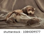 ferret mother take care of her... | Shutterstock . vector #1084309577