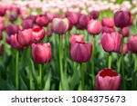 colourful fresh spring tulips... | Shutterstock . vector #1084375673