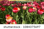 colourful fresh spring tulips... | Shutterstock . vector #1084375697