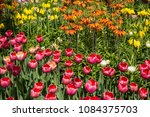 colourful fresh spring tulips... | Shutterstock . vector #1084375703