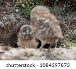 Burrowing Owl And Owlet In...