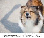 portrait of a cute shetland... | Shutterstock . vector #1084422737