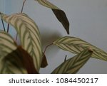 close up of calathea leaves on... | Shutterstock . vector #1084450217