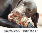 German short haired pointer known as Kurzkhaar playing with dog - stock photo
