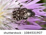 Small photo of Oxythyrea funesta a phytophagous beetle species (family Cetoniidae)