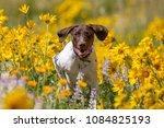 german shothair pointer playing ... | Shutterstock . vector #1084825193