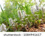 Small photo of Flowers of Ajuga nipponensis in japanese spring