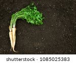 freshly harvest parsley with... | Shutterstock . vector #1085025383